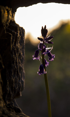 blue light sunset shadow sun plant blur flower color colour macro silhouette stone swansea southwales wales canon eos spring stem focus arch close purple bell dusk vibrant hill depthoffield edge frame april fading bluebell porttalbot margam 2016 margampark canoneos550d eos550d