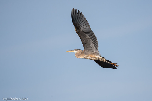 Great Blue Heron at Swimming River Reservoir - 3