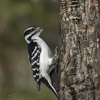 Pic chevelu / Hairy woodpecker ♀ | by Hobby Foto