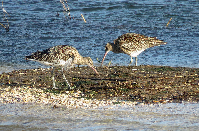 Curlew - Numenius arquata