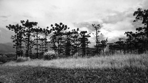 brasil brazil campinas araucária pinheirodoparaná pinheirobrasileiro áreamilitar pinheiro pinha sul