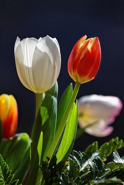 Tulipes - Tulips