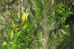 Prairie Warbler, Yucca Pens, FL 1/19/2016
