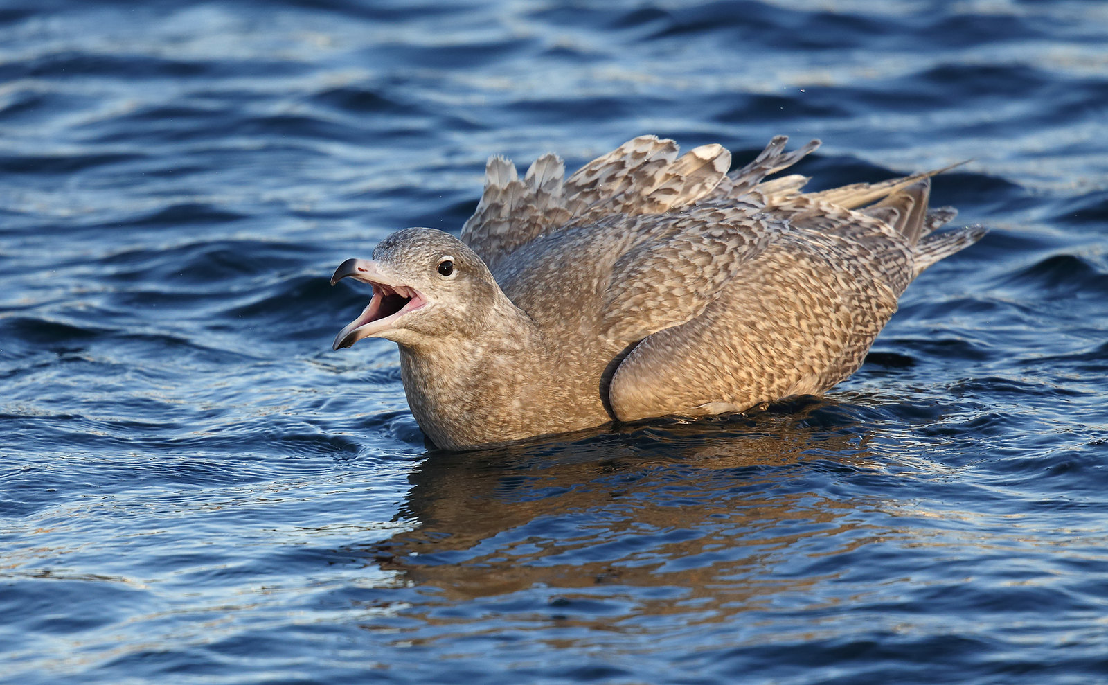 Juv. Glaucous Gull