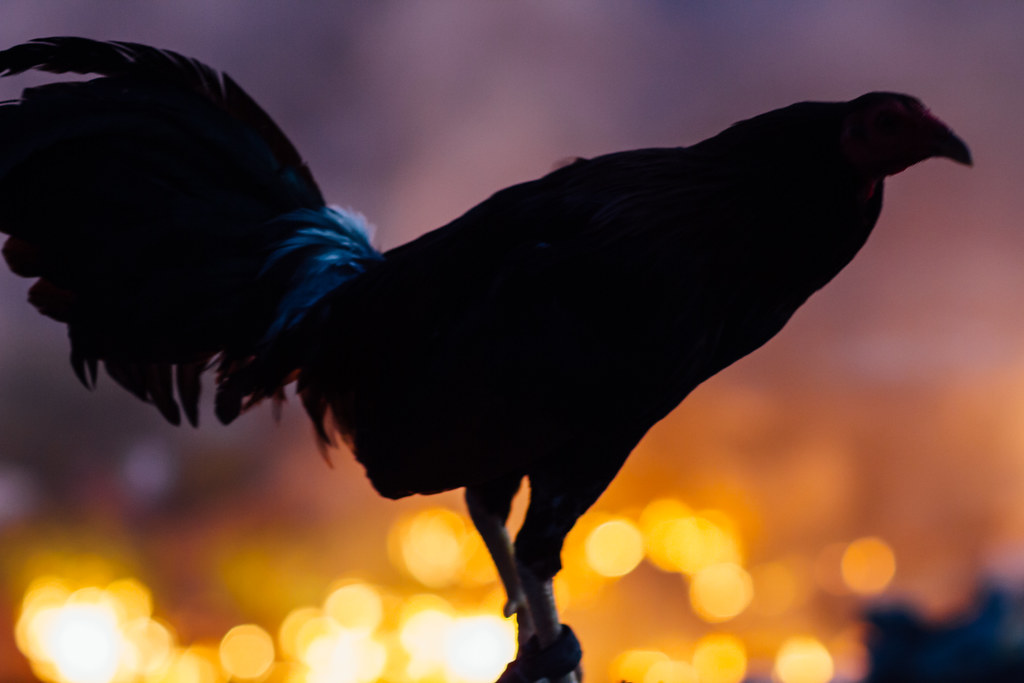 Rooster Silhouette & Trash Fire, Cebu City Philippines | Flickr