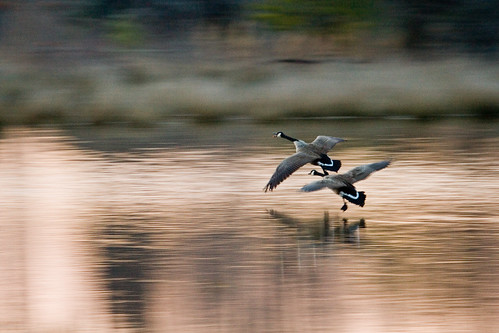Photo of Canada geese landing on water