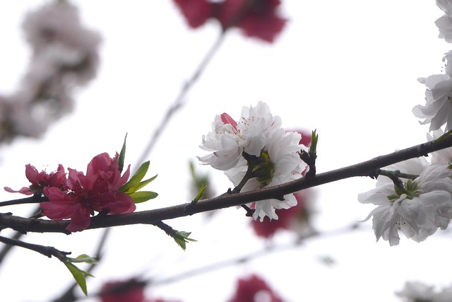 日, 2016-03-20 15:21 - Peach Blossom 源平咲きのハナモモ