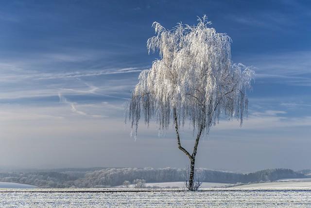 *Birch tree in hoarfrost* - *Birke im Raureif*