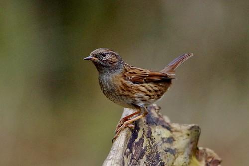 wild bird nature woodland suffolk wildlife lakes reserve dunnock trust lackford