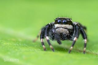 Jumping spider (Carrhotus sannio) - DSC_3844