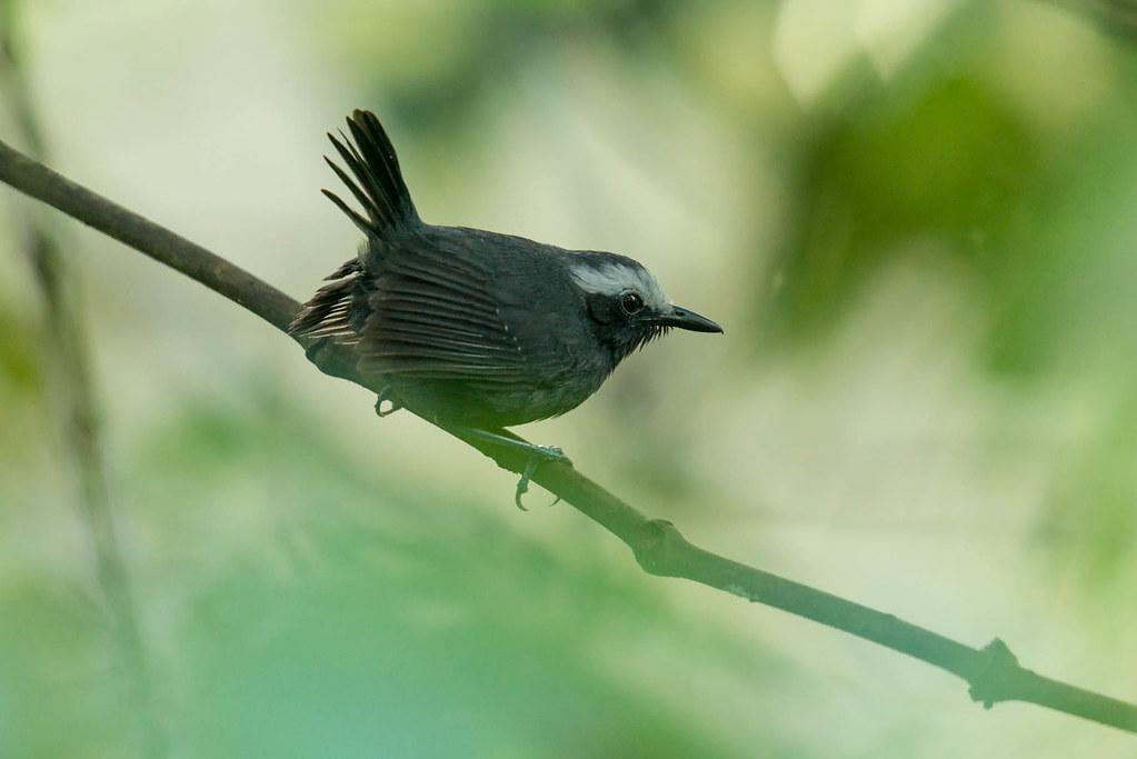 Hormiguero cejiblanco - Myrmoborus leugophrys - White-browed antbird