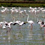 Flamingos bailando (Phoenicopterus roseus)