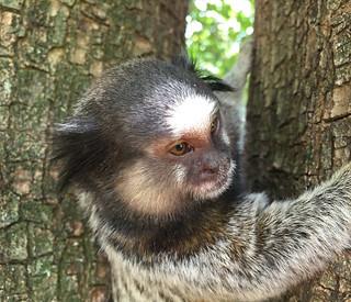 Série com o Sagui-de-tufos-pretos (Callithrix penicillata) - Series with the Black-ear-tufted-marmoset - 16-02-2016 - IMG_0730