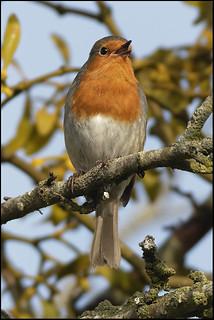European Robin Erithacus rubecula 7D2_5241 | by psmithuk