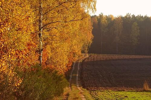 road autumn trees light sunlight fall nature landscape gold golden countryside view path poland polska fields birch lodzkie łódzkie