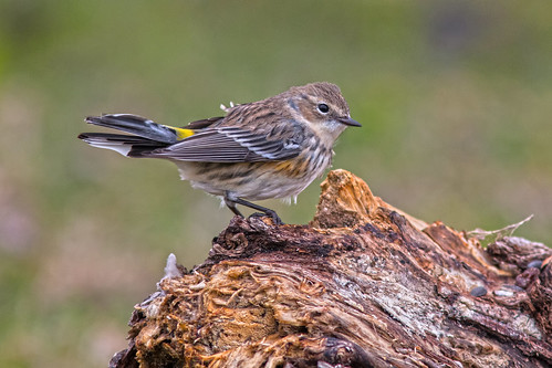 yellowrumpedwarbler chiperabadillaamarilla chipecoronado setophagacoronata bird ave nature naturaleza fauna wildlife
