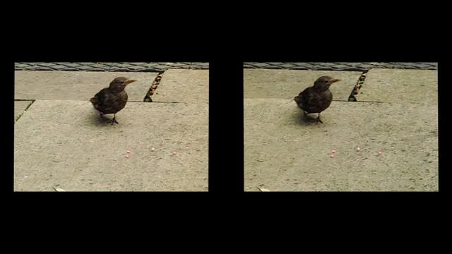 Blackbird feeding 3d - cross-view