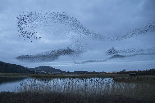 Starling murmuration Conwy RSPB | by ipaddave