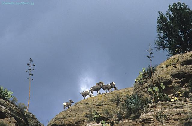 2. BIghorn sheep