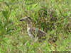 Burhinus bistriatus / Double-striped Thick-knee / Dara. by ING. R.N.R.