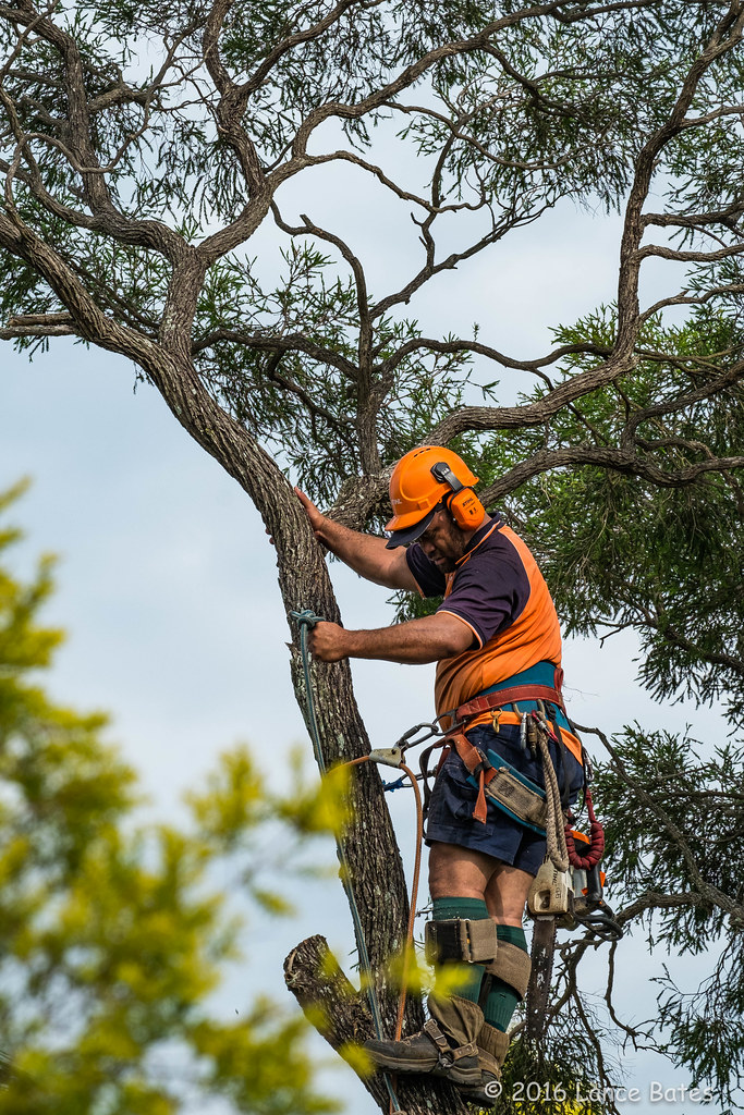20160125-Tree-trimmer-at-work | Tree trimmers have been ...