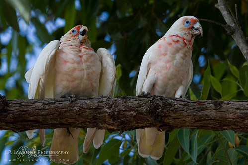 Begging Corella | by J.P. Lawrence Photography