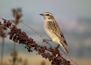 Saxicola rubetra, Καστανολαίμης, Whinchat   by doctor_forester