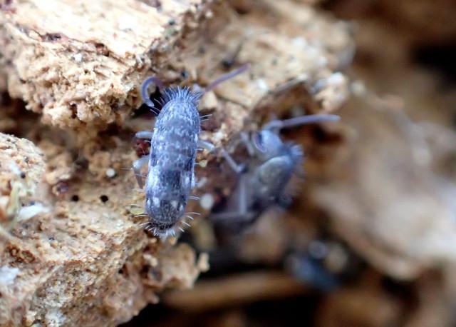 68a Blue Springtails Pogonognathellus sp.