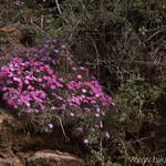 Desert Phlox