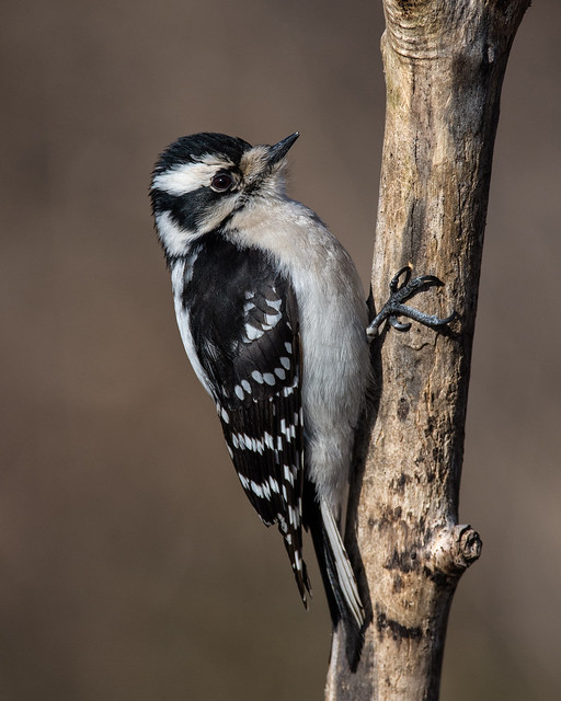 Downy woodpecker, Cove Island