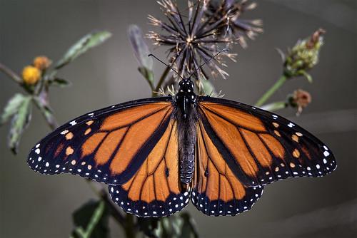 monarchbutterfly nymphalidaedanainae butterfly orangebutterfly fauna australianfauna nikond750 oxleycreekcommon sigma150600mmf563dgoshsmsports sigmateleconvtc1401nik nature