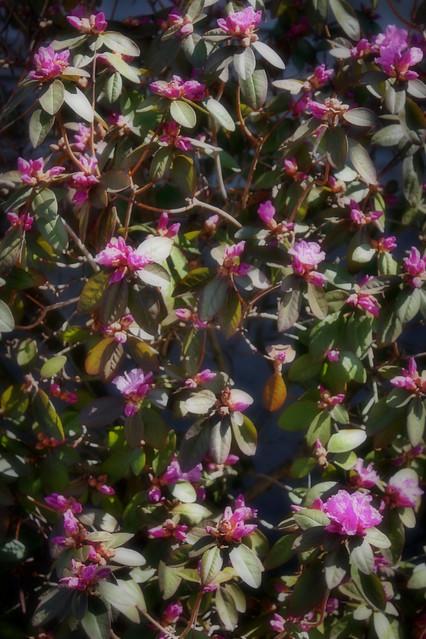 Azalea in My Garden ▶2016◀ First Shrub to Bloom