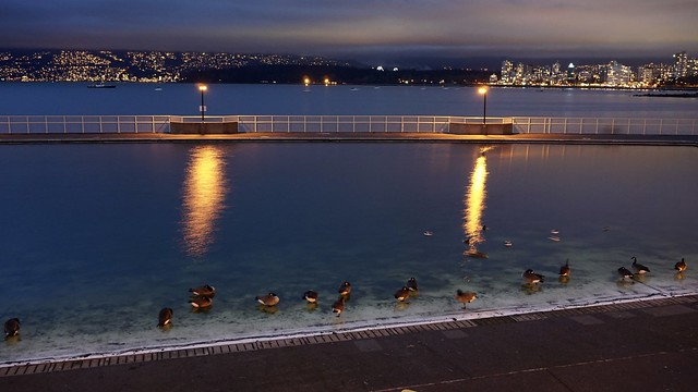 Canada Geese enjoying the privacy and view of Kits Pool in the winter