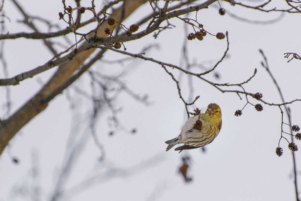 Female European Siskin