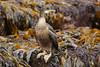 European Shag - Phalacrocorax aristotelis by Roger Wasley