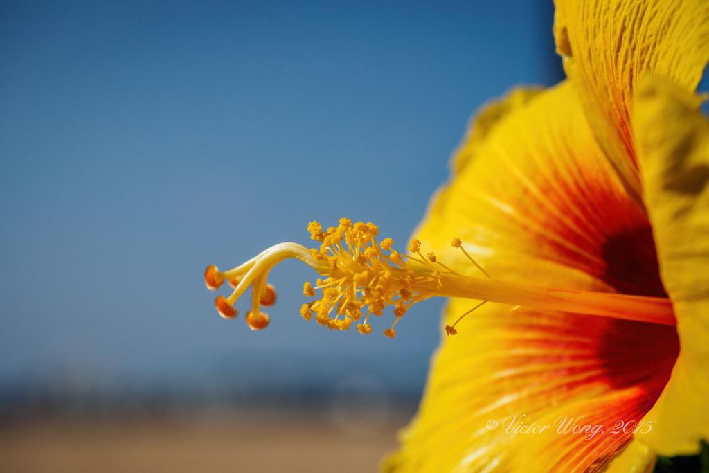 Stamens And Pistil Of A Hibiscus Flower Stamens And Pistil Flickr