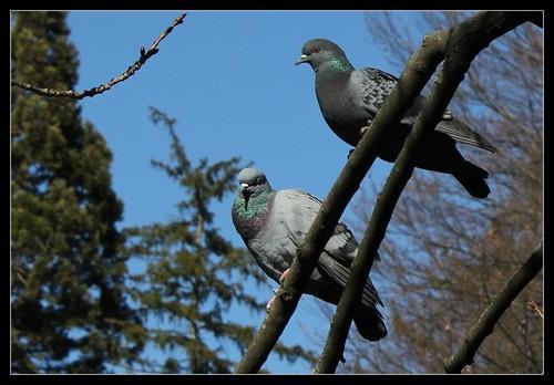 c'était l'heure de la sieste... des Pigeons 26025799301_54da51b3cc