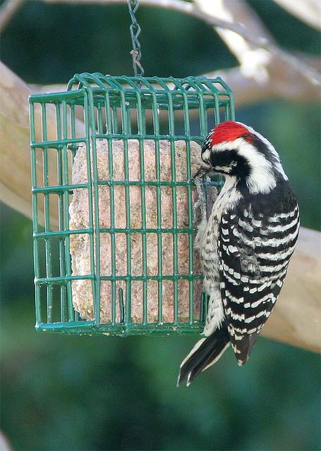 Nuttall's Woodpecker in my backyard