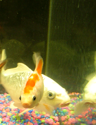 Silver koi and white comet | This I think is the prettiest k