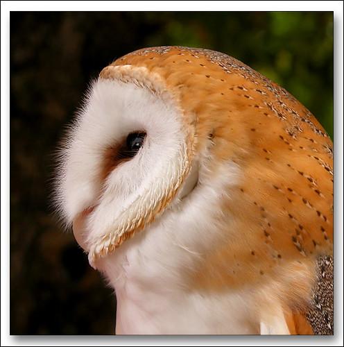 Nature profil   Barn Owl - Effraie des Clocher Barn Owls ...