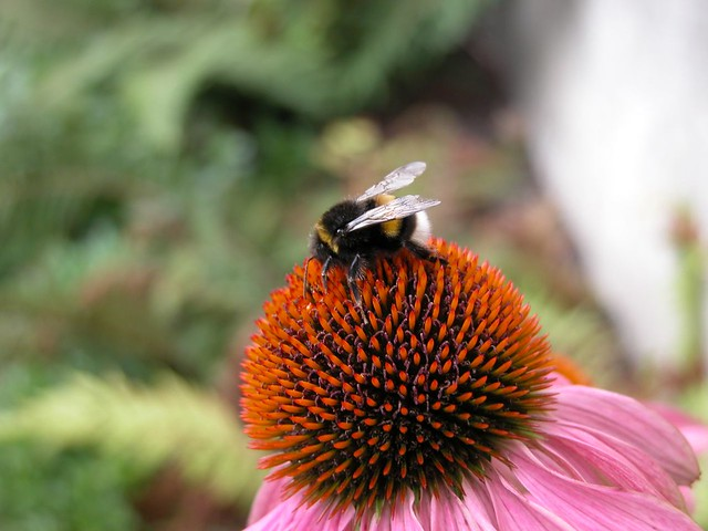 Cone flower and bee