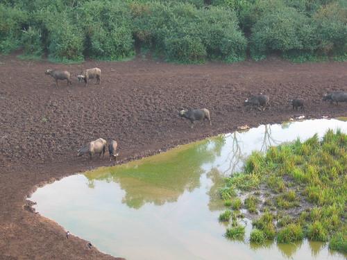 travel kenya capebuffalo mountkenya africanbuffalo serenamountainlodge