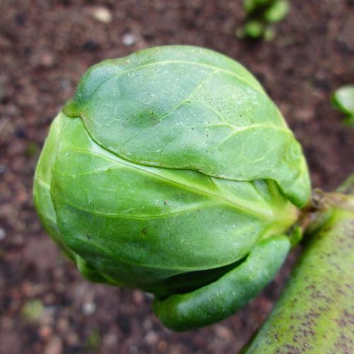hmm macromondays sprout vegetable green canonixus170 garden squareformat 2016onephotoeachday