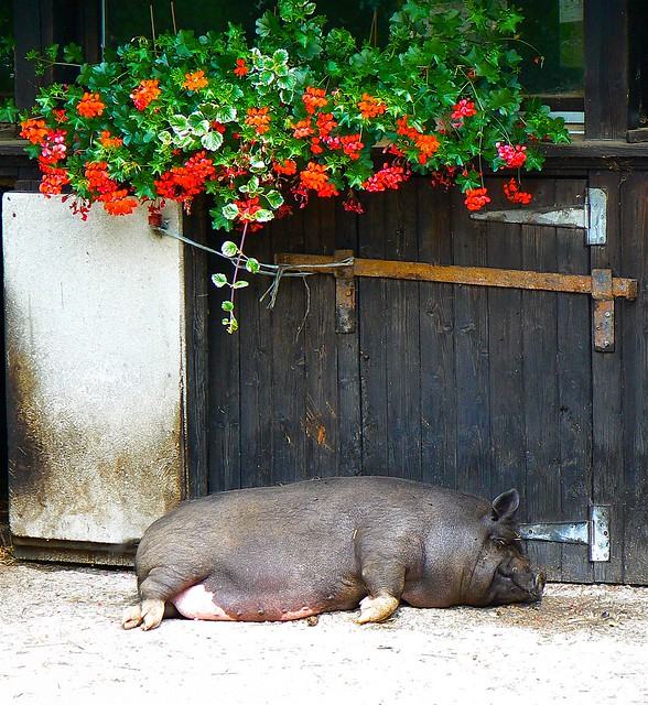 Pigture Perfect