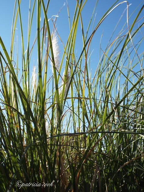 Showy Grasses