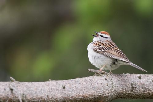 sparrow chippingsparrow spizellapasserina