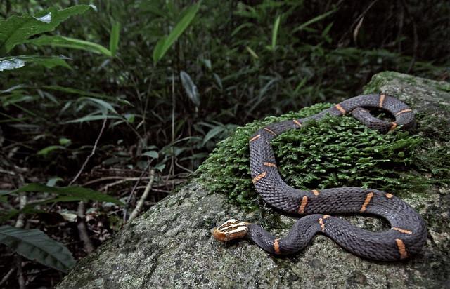 Fea's Viper (Azemiops feae)