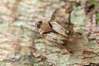 Planthopper (cf. Cixiidae) - DSC_6840