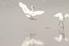 Little egret by steffen.grothe