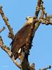 Pallas's Fish Eagle by upperwinskill